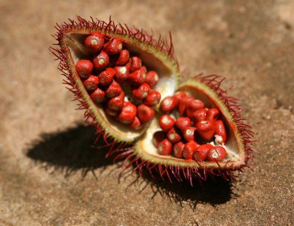 14671205 - annato (bixa orellana) - lipstick plant on spice tour, zanzibar, tanzania