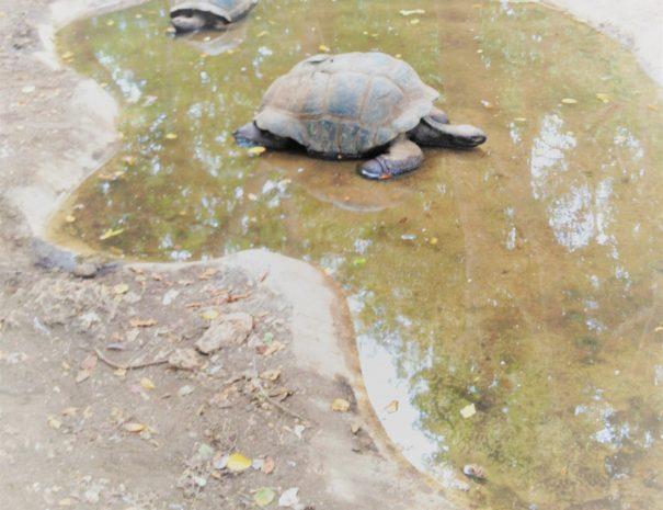 giant_tortoises_Prison_Island_Paradise_Zanzibar_be1f88eb-56ec-4142-a725-3e7dbfc161b5_1024x1024@2x